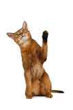 Funny Abyssinian Cat Sit, Curiously Looking and Raising up paw Stock Photos