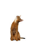 Funny Abyssinian Cat Sitting and Curiosity Looking up isolated White Stock Images