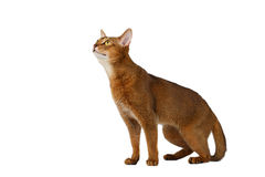 Funny Abyssinian Cat Sitting and Looking up isolated on White Stock Photo
