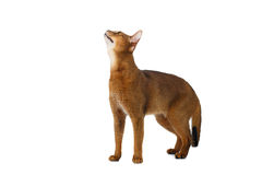 Funny Abyssinian Cat Standing and Looking up isolated on White Stock Photography