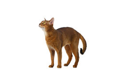 Funny Abyssinian Cat Standing and Looking up isolated on White Stock Image
