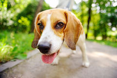 Funny active Beagle dog. Outdoors portrait Royalty Free Stock Image