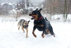 Running dogs rottweiler and small dog. Funny active dogs rottweiler and small dog running on snow white background stock image