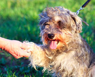 Funny active mini schnauzer. In nature royalty free stock image
