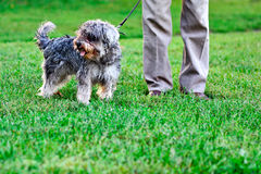 Funny active mini schnauzer. In nature royalty free stock photos