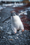 Funny adelie penguin chick running on shingle Stock Image