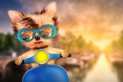 Dog on motorbike with travel background. Funny adorable dog sitting on a motorbike and wearing sunglasses with travel background. Holiday and vacation concept Royalty Free Stock Photo