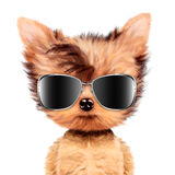 Funny adorable doggy girl with aviator sunglasses Stock Image