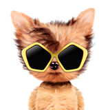 Funny adorable doggy girl with aviator sunglasses Royalty Free Stock Photos