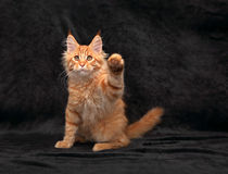 Funny adorable red solid maine coon kitten standing on two back Royalty Free Stock Photos
