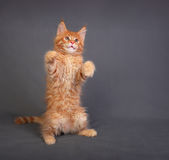 Funny adorable red solid maine coon kitten standing on two back Royalty Free Stock Photo