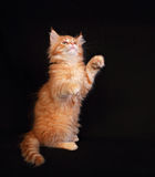Funny adorable red solid maine coon kitten standing on two feet Stock Photos