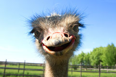 Funny african ostrich Royalty Free Stock Photo