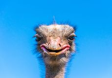 Funny African ostrich. Animal`s head against a blue sky Stock Photography