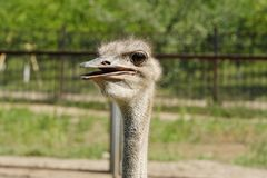 Funny African ostrich at the zoo in the summer. View Royalty Free Stock Images