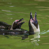 Funny African penguins fighting at close up Stock Photos