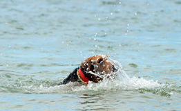 Funny Airedale dog learning to swim in sea. Our purebred Airedale breed dog going for his first swim in the ocean. He was having alot of fun and enjoying his Stock Photography