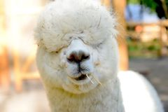 Funny alpaca royalty free stock photos