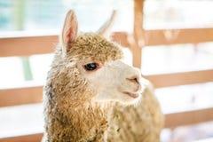 Funny alpaca close up. National park. Selective focus Stock Photo