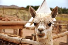 Funny alpaca face. View of funny alpaca face Royalty Free Stock Photography