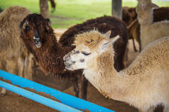 Funny Alpaca living in the farm ,Thailand. Royalty Free Stock Photos