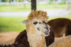 Funny Alpaca living in the farm ,Thailand. Royalty Free Stock Photography