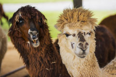 Funny Alpaca living in the farm ,Thailand. Royalty Free Stock Images