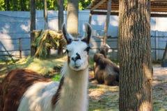 Funny alpaca smile, white llama close-up. Near the tree Stock Image
