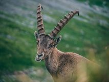 Funny alpine capricorn Steinbock Capra ibex eating and looking camera, brienzer rothorn switzerland alps. Funny alpine capricorn Steinbock Capra ibex eating and Royalty Free Stock Photo