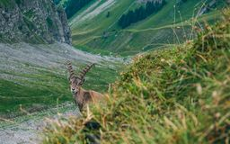 Funny alpine capricorn Steinbock Capra ibex standing on rock looking at camera, brienzer rothorn switzerland alps. Funny alpine capricorn Steinbock Capra ibex Royalty Free Stock Photos