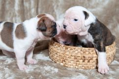 Funny American Bulldog puppies royalty free stock photo