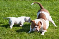 Funny American Bulldog puppy with mother. Are playing with love on nature. The American bulldogs are well built, strong-looking dog, with a large head and a Stock Photography