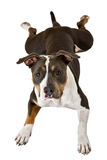 Funny american staffordshire terrier Stock Image