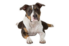 Funny american staffordshire terrier Royalty Free Stock Images