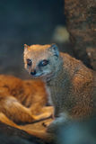 Funny And Cute Suricate Royalty Free Stock Image