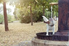 Free Funny And Thirsty Dog Drinking Water Of A Fountain At The Park On Summer Heat Royalty Free Stock Images - 153491819