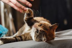 Funny angry cat. Orange cat playing with human hand on the blue pillow.  stock images