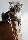 Funny angry cat. Cat after playing wrapped in rope Royalty Free Stock Photo