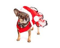 Funny Angry Christmas Santa Dog Stock Photography