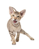 Funny angry oriental shorthair kitten. Go in attack. Stock Photo