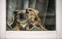 Funny angry small dogs. At the window stock photos
