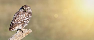 Funny animal banner - lazy owl looking  Royalty Free Stock Photos