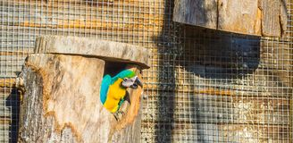 Funny animal bird portrait of a macaw parrot looking out of his birds cottage. A funny animal bird portrait of a macaw parrot looking out of his birds cottage stock image