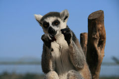Funny animal boxing. Funny animal photo of Lemur with fists in the air as if boxing royalty free stock image