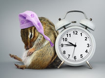 Funny animal chipmunk wakeup with clock and sleeping hat Stock Photo