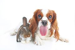 Funny animal dog photo. Funniest animals pets dogs. Rabbit bunny lop and puppy together. Animal friends, real friendship. Cute stock image