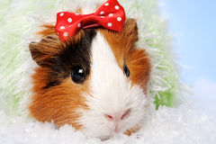 Funny Animals. Guinea pig Christmas portrait stock photography