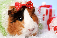 Funny Animals. Guinea pig Christmas portrait stock images