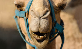 Funny Animals Camel Face. Is a close up of a camels mouth nose and eyes as he is looking very funny and humorous Stock Images