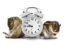 Funny animals chipmunks wakeup with ringing clock Royalty Free Stock Photography